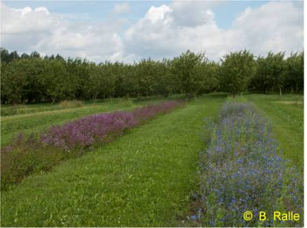 Annual flower strips at the edge of the orchard