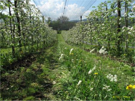 Inter-row flower strip in the orchard
