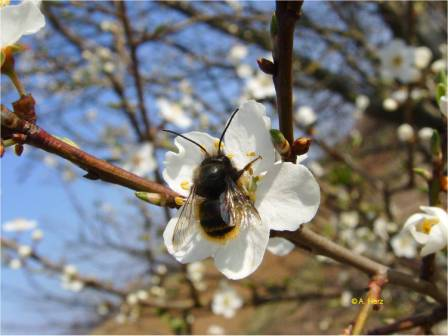 Wild bee on apple blossom