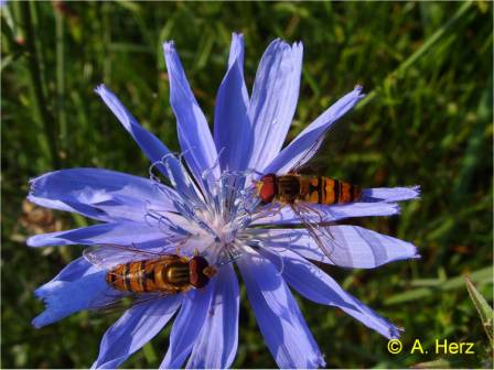 Hoverflies on flower