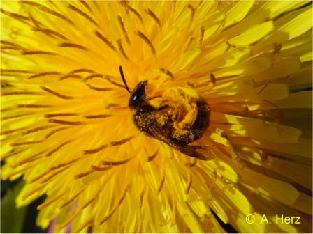 Wild bee on dandelion flower