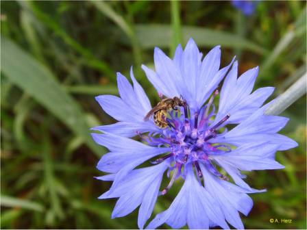 Wild bee on corn flower